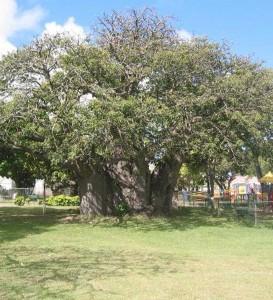 GBB_Baobab
